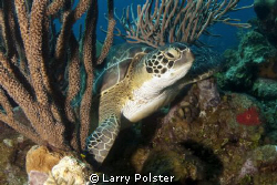 The locals call him Leonardo, dive site Turtle Crossing, ... by Larry Polster 